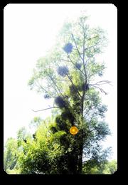 Vign_arbre2